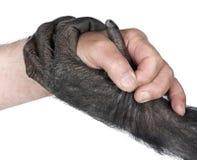 Stretta di mano fra la mano umana e la mano della scimmia Immagine Stock
