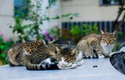 Streukatzen, die draußen auf dem Auto schlafen stockfotos