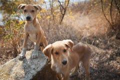 Streunende Hunde Lizenzfreies Stockbild