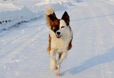 Streunende Hunde Stockbilder