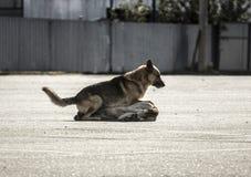 streunende Hunde auf dem Boden draußen eins ist das andere Lizenzfreie Stockfotos