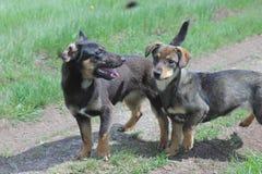 Streunende Hunde auf dem Gebiet Stockbild