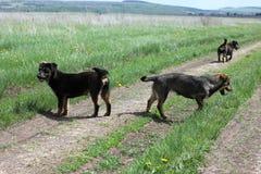Streunende Hunde auf dem Gebiet Lizenzfreie Stockfotos