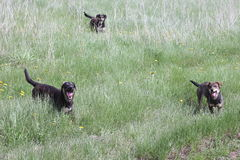 Streunende Hunde auf dem Gebiet Lizenzfreies Stockfoto