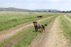 Streunende Hunde auf dem Gebiet Stockfotografie