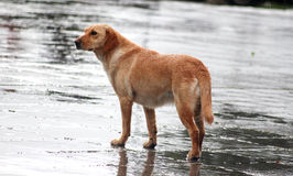 streunende Hunde auf dem Regen Stockfotografie