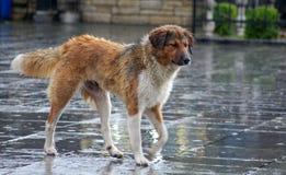 streunende Hunde auf dem Regen Stockfotos
