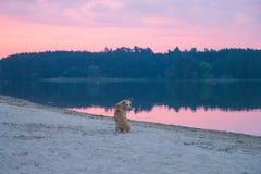 streunende Hunde auf dem Strand, der herum spielt Lizenzfreies Stockfoto