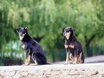 Streunende Hunde, Bhutan lizenzfreies stockfoto