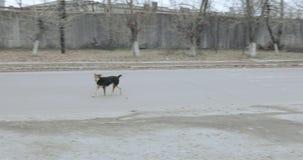 Streunende Hunde in der Stadt stock video footage