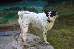 Streunender Hund, in überschwemmt Lizenzfreies Stockbild