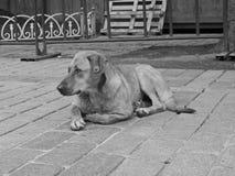 Streunender Hund Lizenzfreies Stockfoto