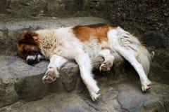 Streunender Hund, der auf Treppe schläft stockfoto