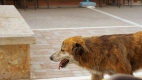 Streunender Hund, der entlang die Straße geht stock video
