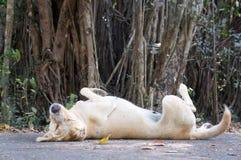 Streunender Hund, der im Schatten eines Banyanbaumes stillsteht stockbild