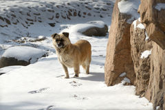 Streunender Hund im Schnee Lizenzfreies Stockbild