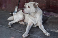 Streunender Hund in Thailand Stockfotos