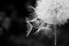 Streuungen mit einen wei?e L?wenzahn, Nahaufnahme auf einem dunklen Hintergrund Makro Schwarzweiss, einfarbig stockfotos