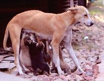 Streuweiblichhundefütterungsmilch Stockbilder