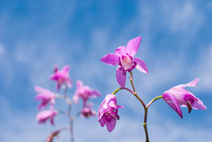striata λουλουδιών bletilla Στοκ εικόνα με δικαίωμα ελεύθερης χρήσης
