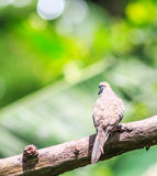 Striata голубя или Geopelia зебры Стоковые Изображения RF