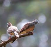 Striata голубя или Geopelia зебры Стоковое Изображение RF