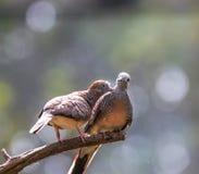 Striata голубя или Geopelia зебры Стоковая Фотография RF