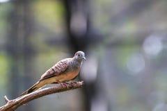 Striata голубя или Geopelia зебры Стоковое Фото