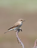 striata flycatcher запятнанное muscicapa Стоковые Изображения RF