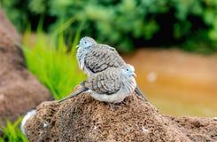 Striata Geopelia голубя зебры Стоковое фото RF