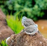 Striata Geopelia голубя зебры Стоковая Фотография RF
