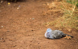 Striata Geopelia голубя зебры Стоковые Фото