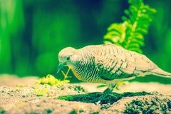 Striata Geopelia голубя зебры Стоковая Фотография