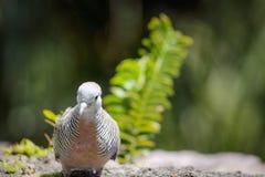 Striata Geopelia голубя зебры Стоковое Изображение RF