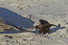 Striated βατραχοπέδιλο δαγκώματος Caracara στοκ εικόνες