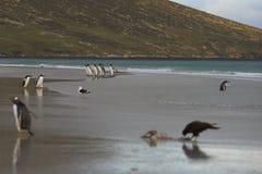 Striated продувка Caracara на пляже Стоковое фото RF