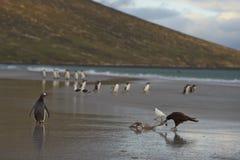 Striated продувка Caracara на пляже Стоковые Фото