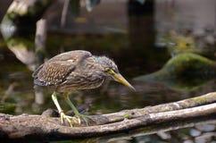 Striated птица цапли около воды Стоковые Изображения