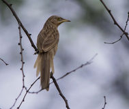 Striated Babbler (Turdoides Earlei) Stock Image