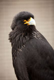Striated caracara. Looking at you Royalty Free Stock Image