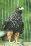 Striated caracara Royalty Free Stock Photo
