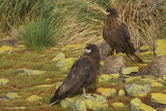 Striated Caracara on Bleaker Island Royalty Free Stock Images