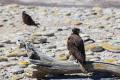 Striated Caracara Stock Images