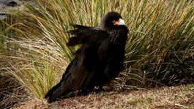 Striated Caracara, Falkland Islands stock video