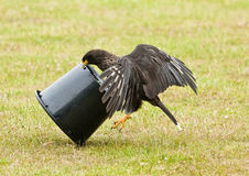 Striated caracara Stock Photos