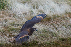 Striated Caracara - Falkland Islands Stock Photo