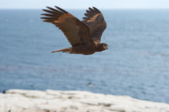 Striated Caracara - Falkland Islands Royalty Free Stock Photography