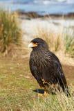 Striated Caracara - Falkland Islands Stock Photos