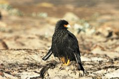 Striated Caracara, phalcoboenus australis, Falkland Islands Stock Photos