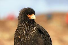 Striated Caracara, phalcoboenus australis, Falkland Islands Stock Image